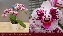 Подростки орхидеи фаленопсис ч 2
