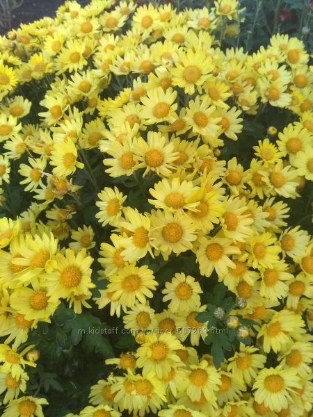 Желтая хризантема-ромашка
