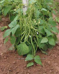 Фасоль спаржева высокоурожайная.