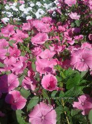 Семена лавантеры  смесь белой и розовой