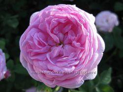 Гидролат розы чайной розовая вода