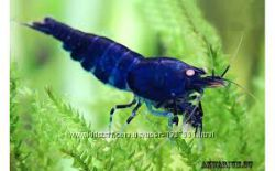 аквариумная криветка-синяя