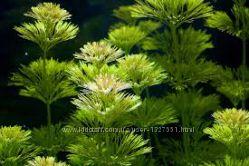 аквариумное растение кабомба