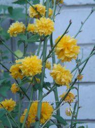 Керрия японская бесшипная роза