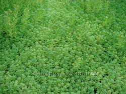 Покровная травка, для газонов, дорожек и красоты