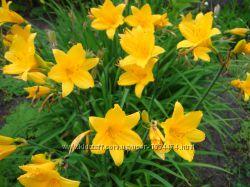 Лилейник жёлтый