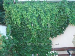 виноград декоративный Виче