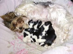 Продам щенков Бивер Йорк мини, мальчики и девочка